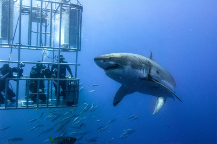 1480080958_cage-diving-white-shark-south-africa